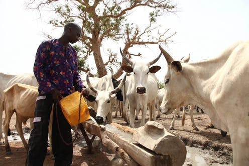 A man pours a bucket of water into a wooden trough while cattle gather around