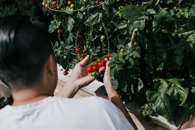 A man looks at bright-red cherry tomatoes growing on a tomato plant.