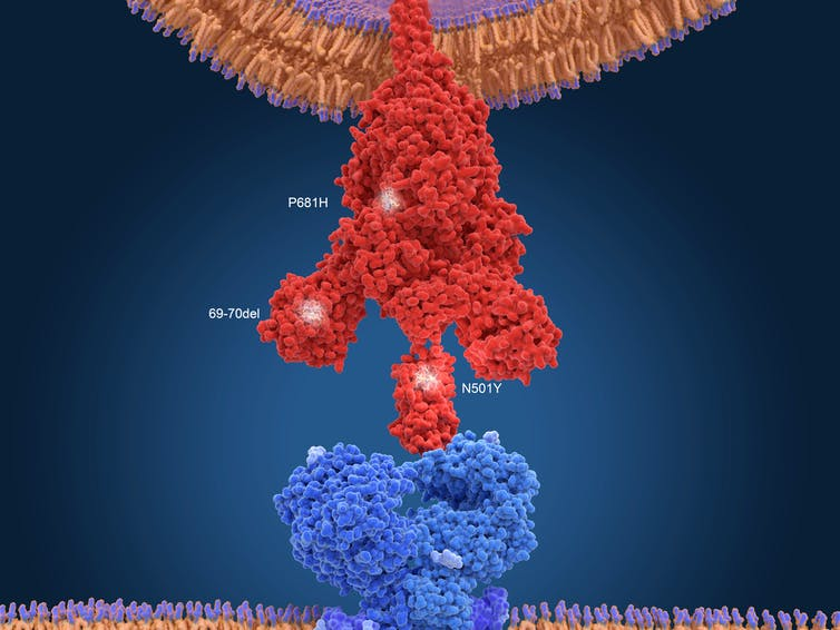 Spike protein interacting with the ACE2 receptor.
