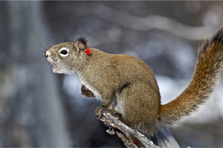 a squirrel on a branch screaming