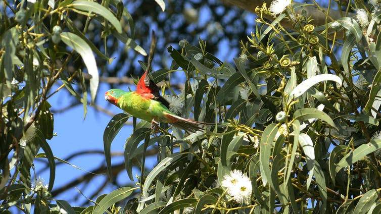 Swift parrot flies through treetops