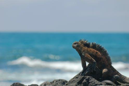 large iguana on rocks looks out to sea