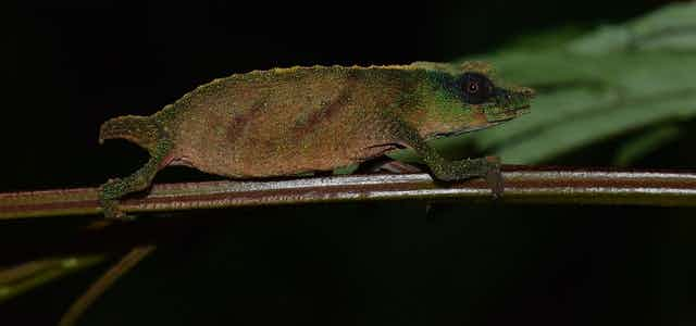 The tiny Chapman's Pygmy chameleon perched on a twig.
