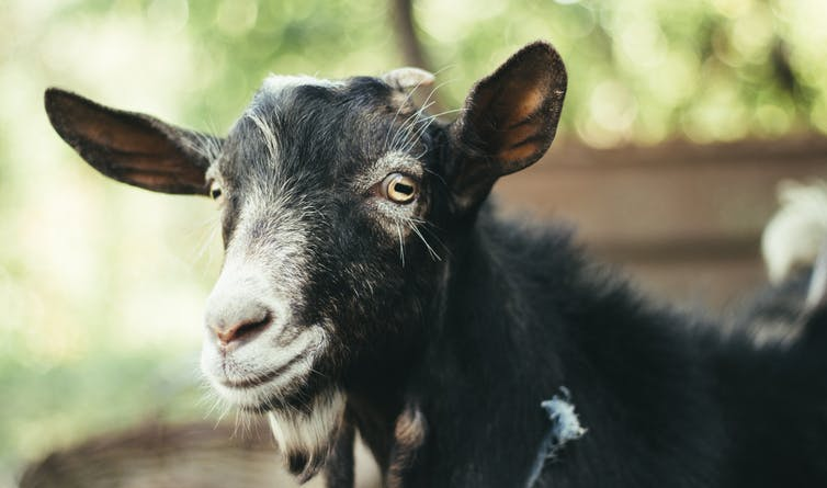 A grey goat looks into the camera.