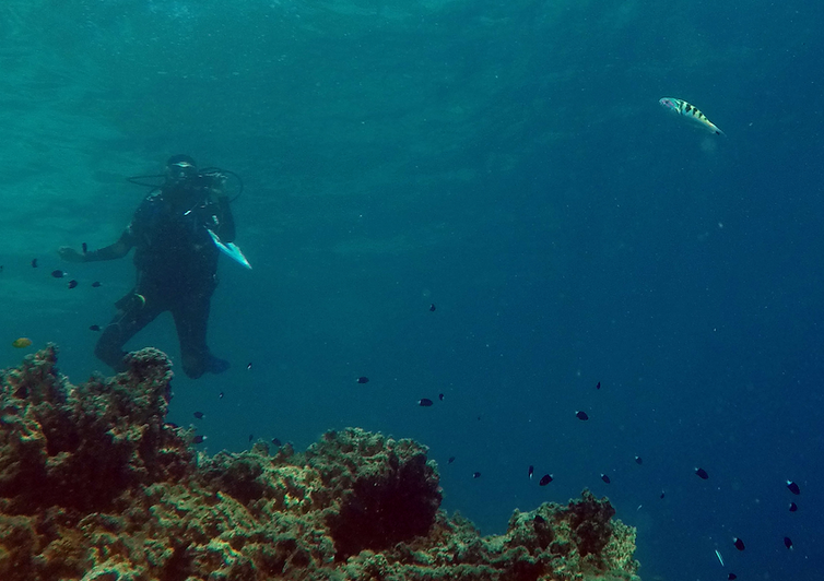 A diver underwater keeping watch on one of the sixbar wrasse fish.