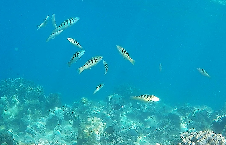 Several sixbar wrasse swim above a reef.