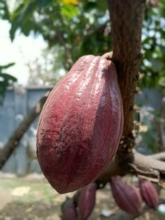 Close-up of cacao pod on a tree.