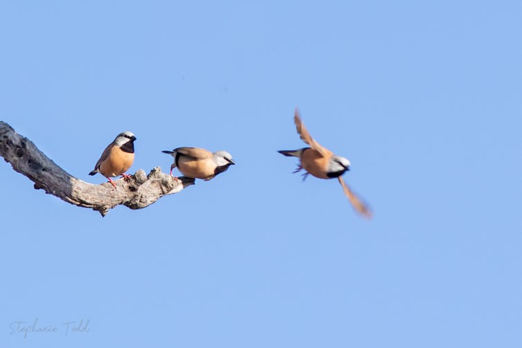 Two black-throated finches on a branch, one flying, against a blue sky.