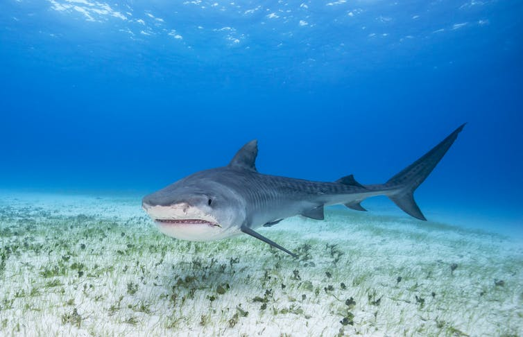 Tiger shark swimming near the sea bed