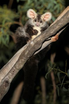 A greater glider sits on a branch, looks into the camera