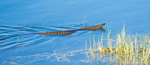 Tiger snake in water