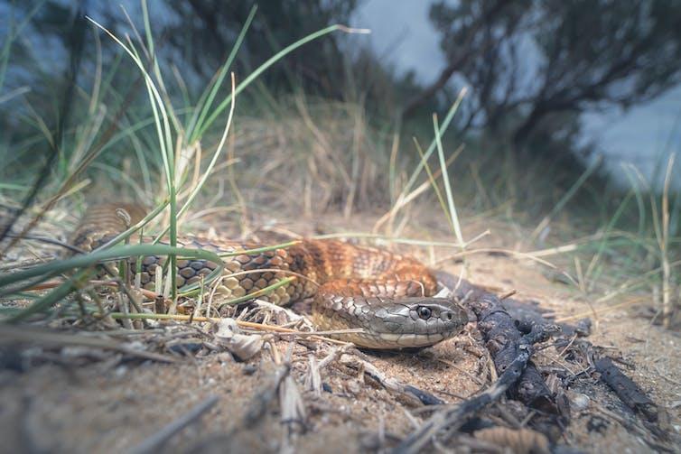 Wild tiger snake