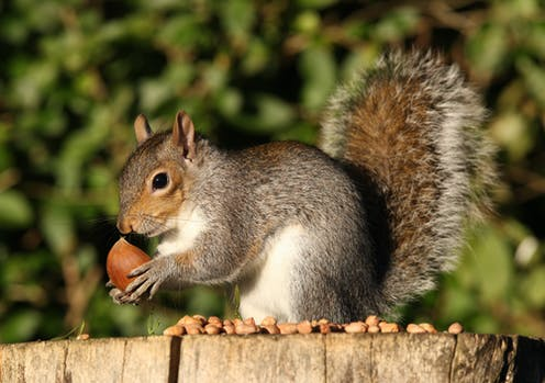 A grey squirrel hunched on a tree stump holding a chestnut.