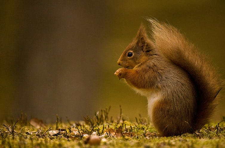 A red squirrel sits amid moss on a tree trunk.