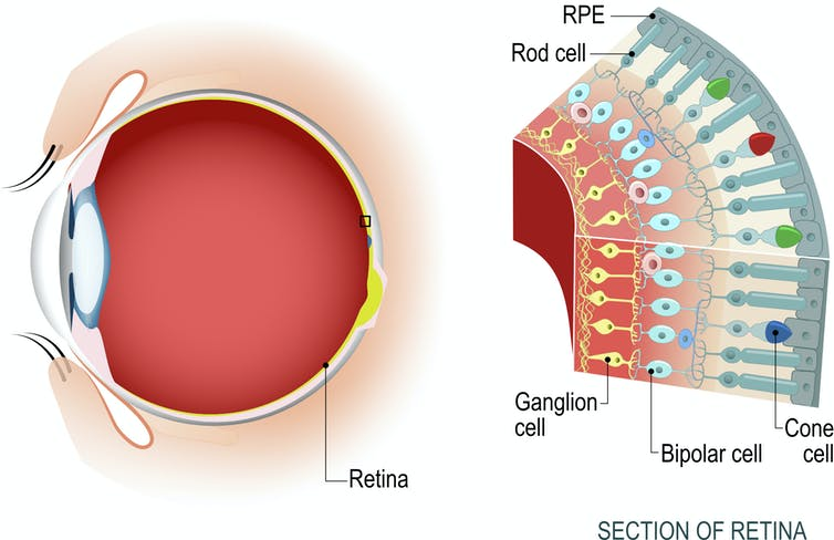 cross section of retina with different cell types