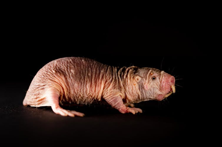 A sideways view of a naked mole-rat with a black background.