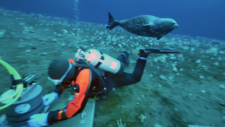 Weddell seal swims by SCUBA diver with scientific equipment