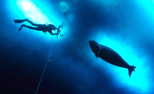 SCUBA diver and seal from below