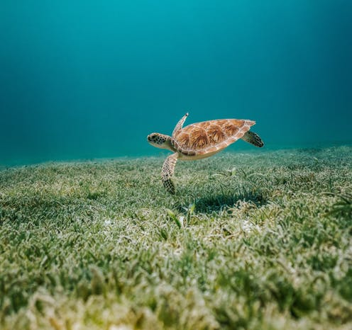 The big blue sea. A turtle seems to fly over a bed of seagrass.
