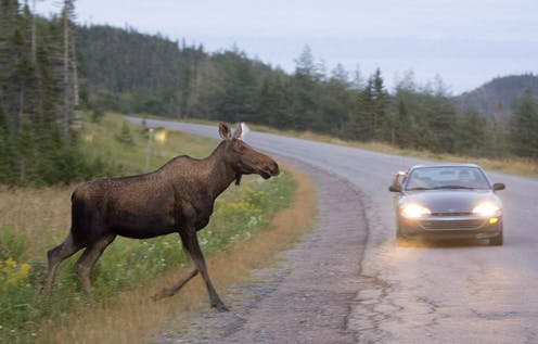 A moose looks poised to run in front of an approaching car on a highway.