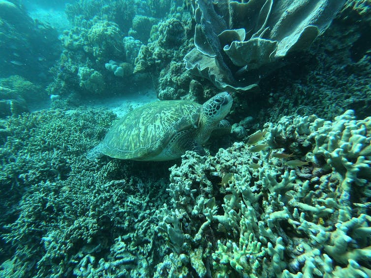 A green turtle blends into the green of the reef.