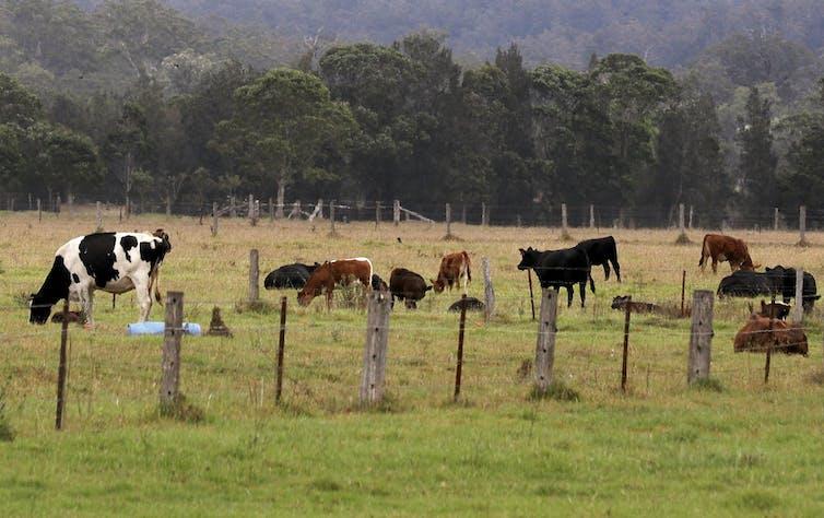 Cows grazing in a field.