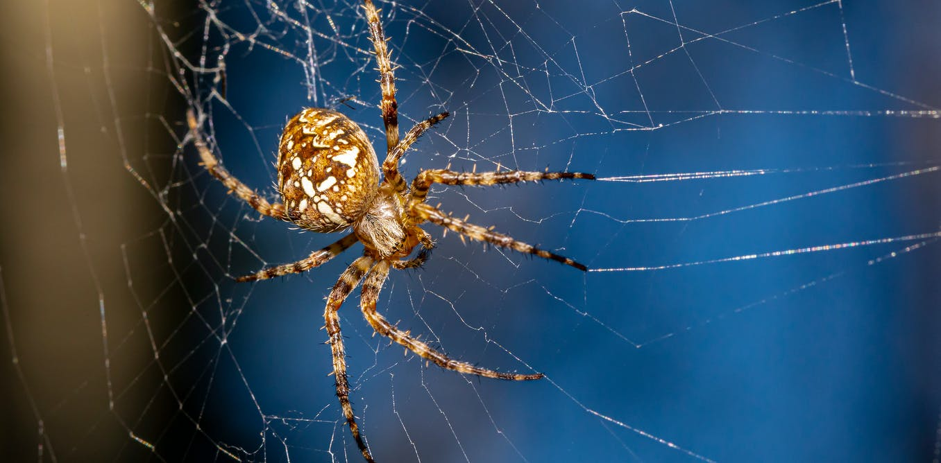Spider legs build webs without the brain's help – providing a model for future robot limbs - The Conversation UK