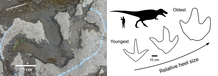 Tyrannosaur track growth photo and diagram.