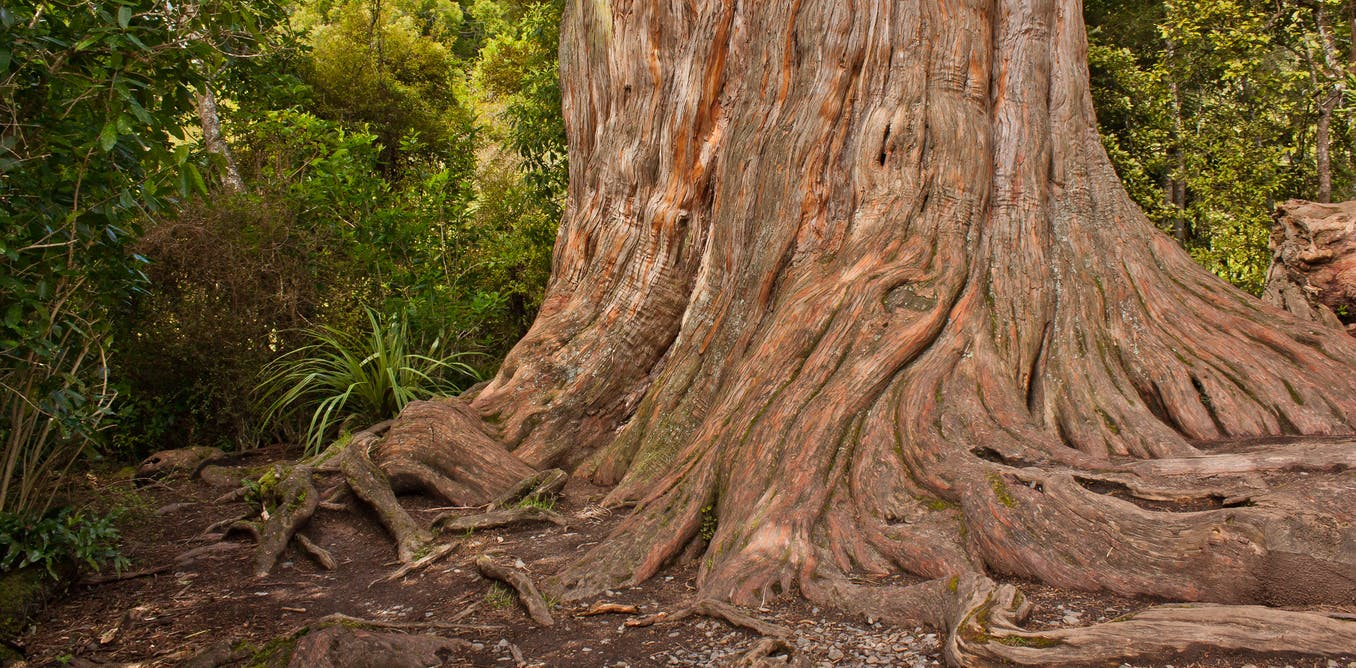The mysterious existence of a leafless kauri stump, kept alive by its forest neighbours