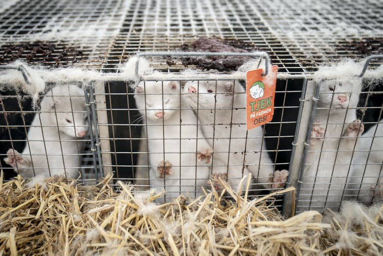 Mink in cages in a fur farm in Denmark.
