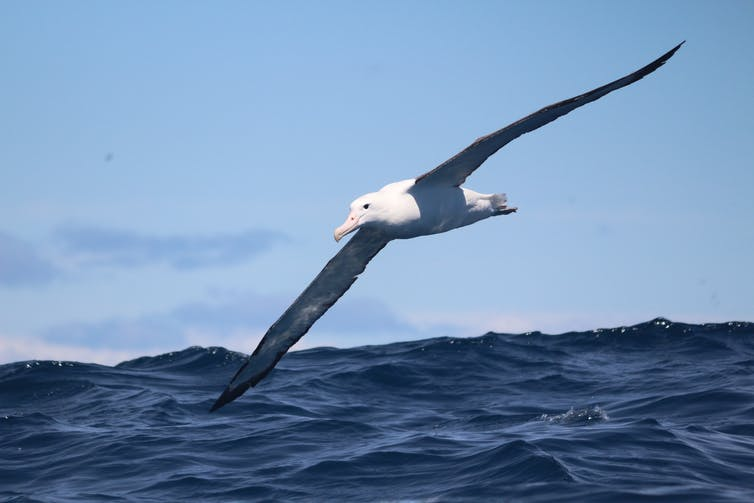 An albatross flying across the ocean.