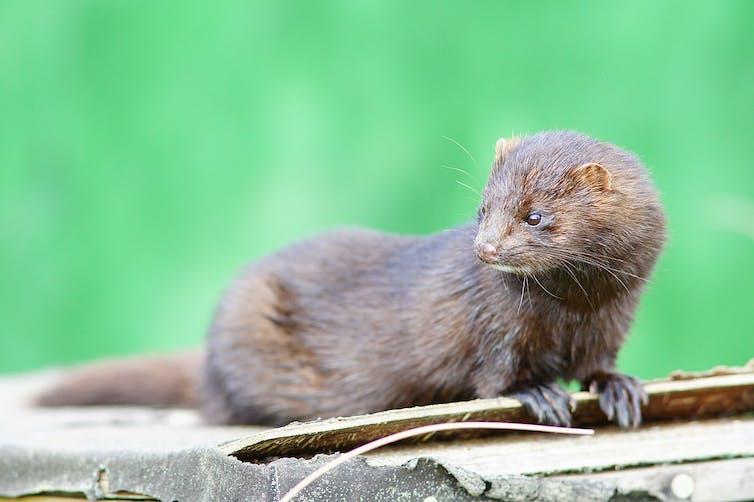 A mink.