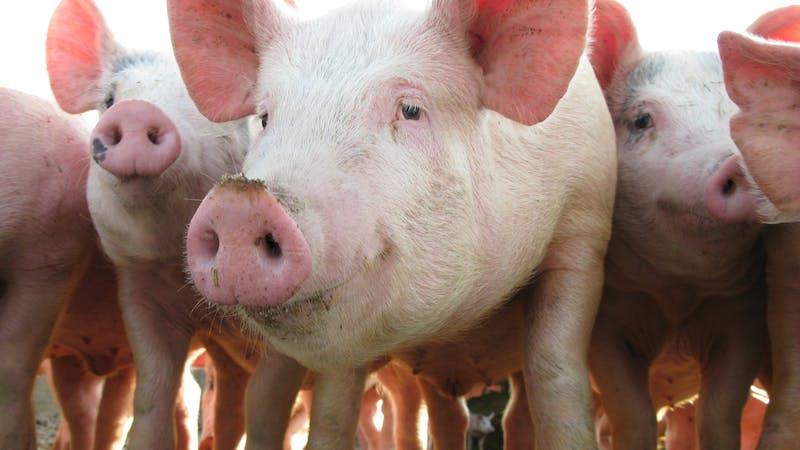 Los cerdos pueden jugar a los videojuegos y eso tiene implicaciones sobre cómo los tratamos