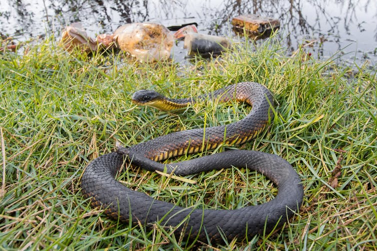 Tiger snake on the ground, near rubbish.