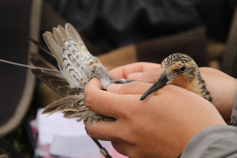 A red knot with a radio transmitter glued to its back.
