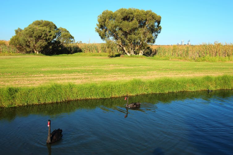 Two black swans in a lake, near cut grass