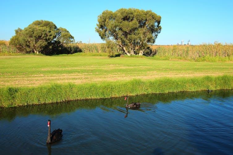 Two black swans in a lake, near cut grass