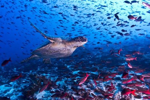 Penyut laut berenang di antara ratusan ikan.
