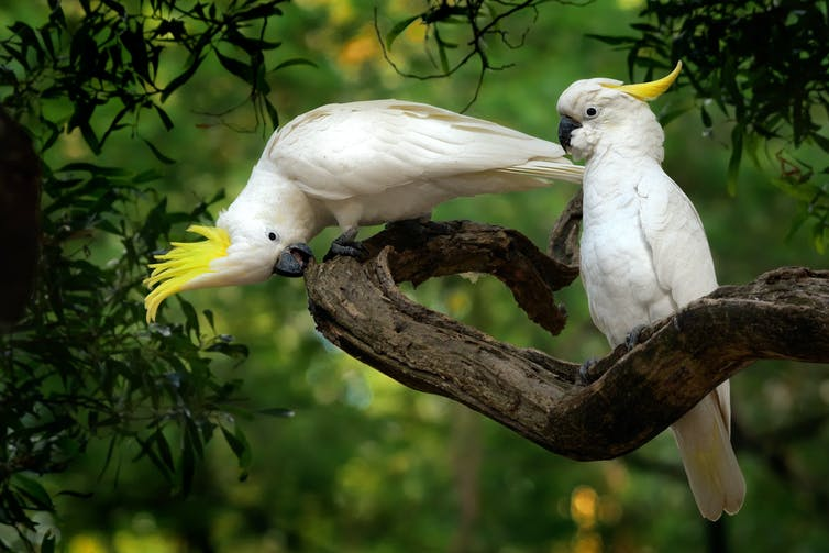 Two sulphur-crested cockatoos sitting on a branch