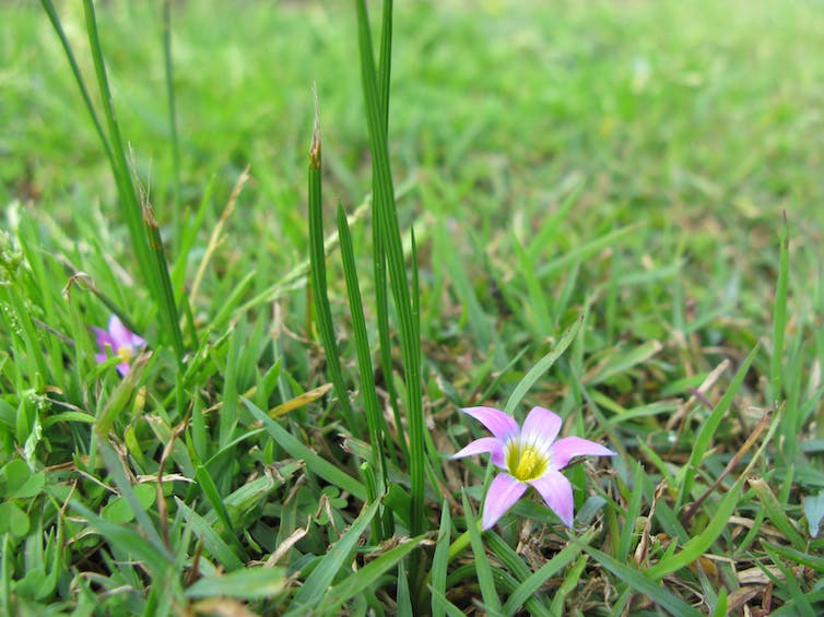 Conspicuous onion grass with a small purple flower