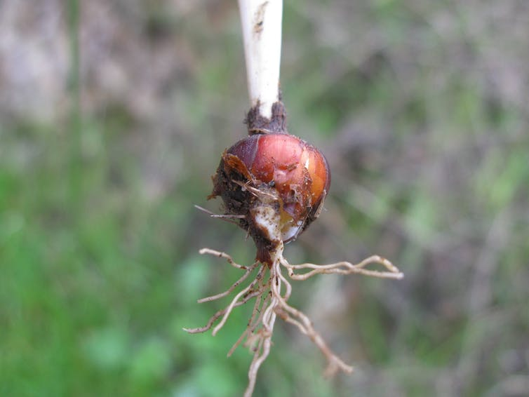 A brown bulb with small roots coming out