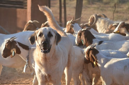 A large dog stands alert amid a herd of goats.