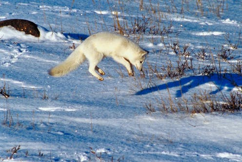 white arctic fox pouncing against a snowy landscape