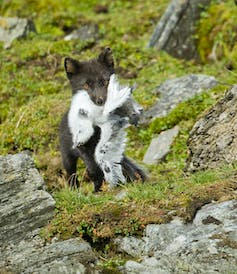 brownish arctic fox with bird in mouth