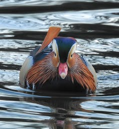 A colourful duck
