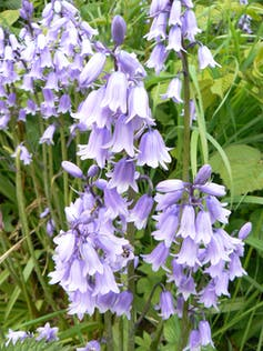Bluebells in a grassy field