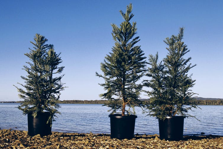 Three Wollemi pine trees in pots by a body of water