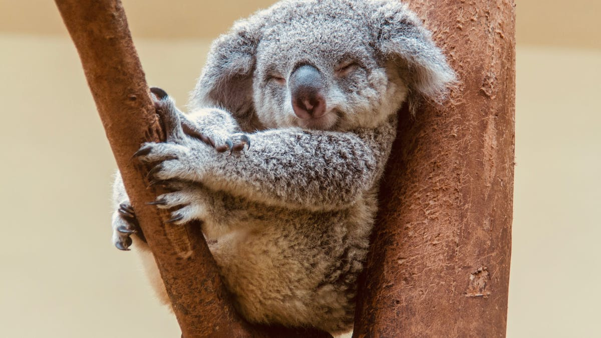 Why do we love koalas so much? Because they look like baby humans