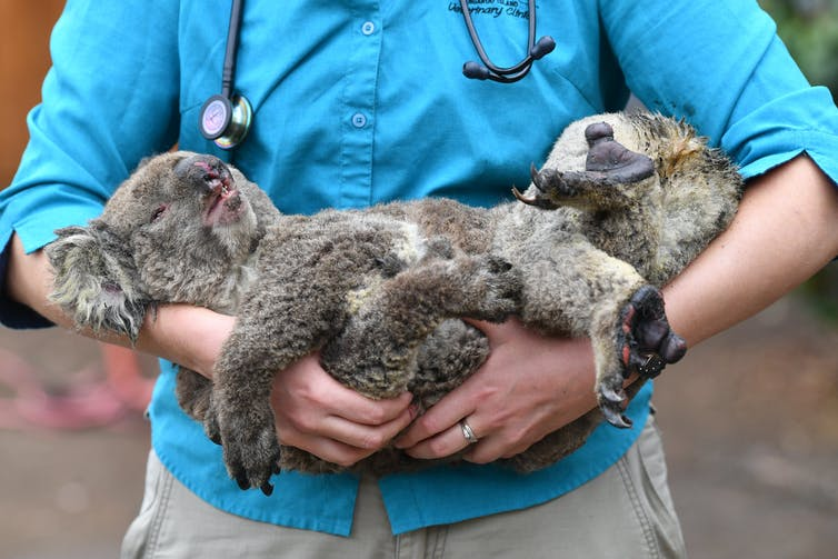 Vet holds injured koala