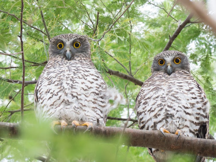 A pair of powerful owls with beady eyes sitting at their roost